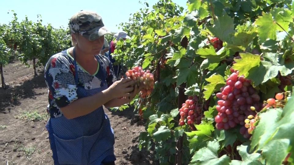 Программа страхования садов и виноградников одобрена аграриями КубаниМинсельхоз Краснодарского края уведомил Национальный союз агростраховщиков (НСА) об одобрении аграриями края программы страхования садов и виноградников, разработанной союзом для региона.Предложение НСА основано на базовой программе страхования с господдержкой, в него включены основные риски, которые характерны для садоводства и виноградарства Кубани. Для каждого из этих двух направлений предусмотрены два вида полиса: один позволяет застраховать стоимость урожая продукции, другой – сами многолетние насаждения.«Программа была направлена для обсуждения и внесения предложений аграриям на уровень районных отделов органов управления АПК Краснодарского края. Теперь, когда программа одобрена, НСА предоставит ее для рекомендованного использования страховым компаниям-членам НСА. Заинтересованные в страховой защите хозяйства аграрии, возделывающие сады и виноградники, могут обратиться к любой страховой компании – члену НСА, работающей в крае», – сказал президент НСА Корней Биждов.Убытки хозяйств, которые возделывают многолетние насаждения, могут быть очень значительными. По данным НСА, в 2018 г. в Краснодарском крае град нанес ущерб в том числе садоводческим хозяйствам. Потери одного из предприятий достигли 200 млн р., отметил президент НСА Корней Биждов.По данным Национального доклада Минсельхоза РФ, в 2018 г. Краснодарский край занял первое место в России по площади заложенных за год многолетних насаждений – 2,4 тыс. га.http://www.asn-news.ru/news/71760#ixzz63BFBzs2t
